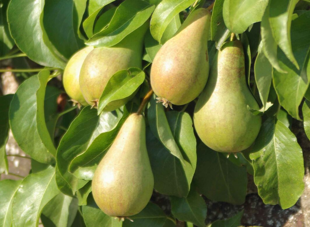 Pears growing on a wall
