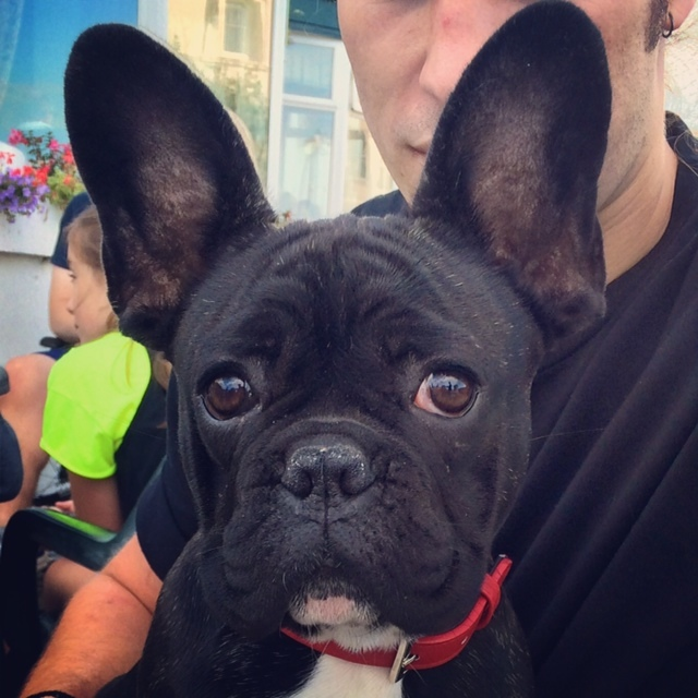 A black French Bulldog